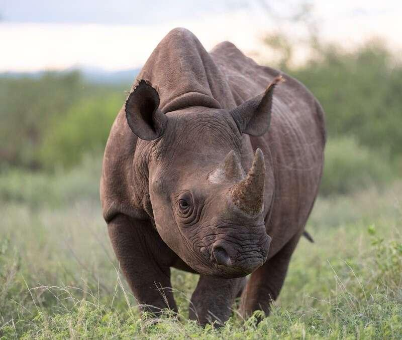 A rhino in one of Laikipia's wildlife conservancy